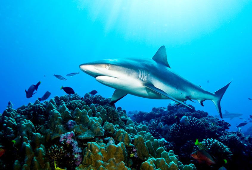 "Sharks are now ""functionally extinct"" from reefs. That's bad news ..."
