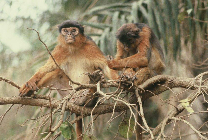 What I learned about human politics from studying colubus monkeys