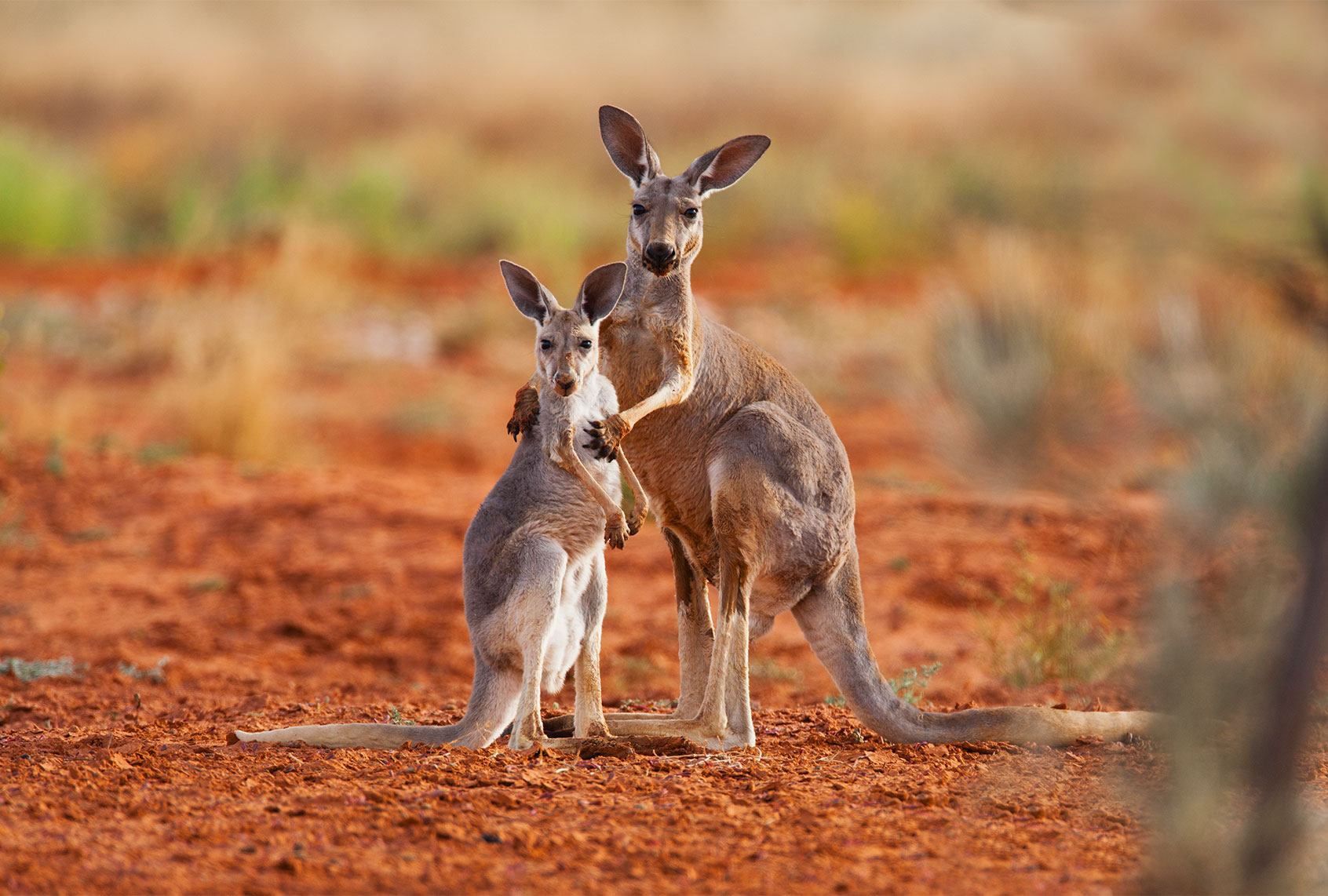 Kangaroos, an Australian icon, are being butchered to feed the pet food industry
