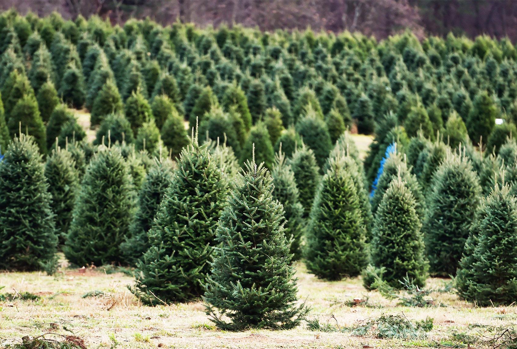Does Your Christmas Tree Have Pesticides Salon Com