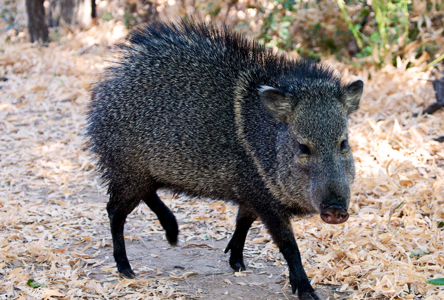 How to poison a feral pig? It's not easy
